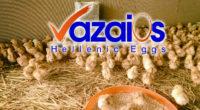 """Καινούργια εκτροφή επιλεγμένων νεοσσίδων αυγοπαραγωγής στις εγκαταστάσεις μας """"Αχυρώνα"""" στην θέση Άγιος Σαράντης κοντά στους πρόποδες του όρους Πατέρας. Σε πέντε μήνες θα ξεκινήσει η ωοτοκία τους με τα νέα […]"""